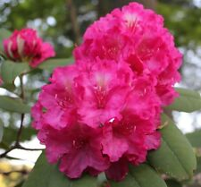 Rhododendron Hot Dawn - #1 Container Plant - Bright Pink Globes!