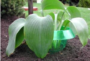 Slug Collars (Pack 6) - Plastic Plant Protection from Slug & Snails Hosta Halos