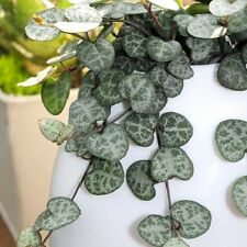 Ceropegia Wooda - Kletterhauspflanze M