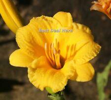 Hemerocallis Stella de Oro DAYLILY PARFAIT BORD PISCINE POOL 10 Seed CANADA GIFT
