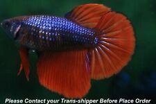Red Blue female Halfmoon Tropical betta fish#B024/ 3.5 mo/ body size 1.5''