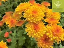 CHRYSANTHEMUM Chrysantheme inverno perenne varietà 'gräfenhausen 4' ocra 1x ARANCIONE