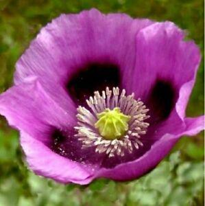 Papaver somniferum 'Hungarian Blue' heirloom Poppy