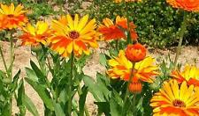 Pacific Beauty Mix 100 Seeds Calendula Seeds Non G M O