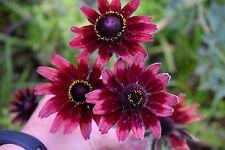 "Rudbeckia hirta ""CherryBrendy"" x 50 seeds Drought tolerant"