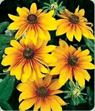 GLORIOSA DAISY INDIAN SUMMER Rudbeckia Hirta Flower 50 Seeds