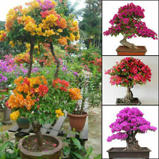 100pcs Bougainvillea Plant Seeds Spectabilis Bonsai Seeds Color Be Mixed Fl HOT