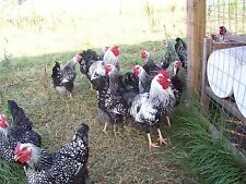 10+ **SILVER LACED WYANDOTTE **  Hatching Eggs
