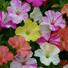 """Paquete De Semillas De Flores Mirabilis Jalapa """"Canicas mezclado 'Kings Semillas De Jardín De Calidad"""