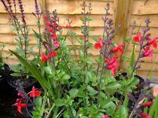Geranium bushy perennial flowers plants ebay salvia bushy perennial flowers plants mightylinksfo Choice Image