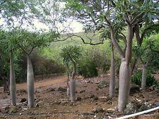 Pachypodium Ramosum (5 SEEDS) Rare Cactus Caudex Samen Semi  Korn 種子 씨앗 Семена