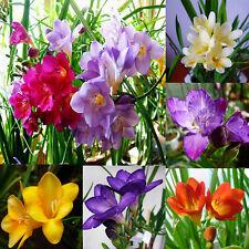 100Pcs Freesia Bulbs Old Fashion Perfume Flower Seeds Garden Plant Perennial Lot