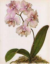 Vintage Botanical Print Orchid Flower Wall Art, Phalaenopsis heideperle (O116)