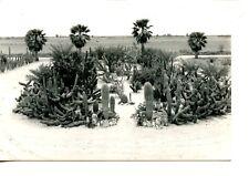 Cactus-Lower Rio Grande-Raymondville-Texas-RPPC-Vintage Real Photo Postcard