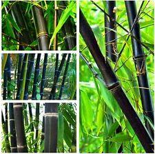 "40 Seeds Rare "" BLACK BAMBOO "" Phyllostachys Nigra Black culmed rough bamboo"