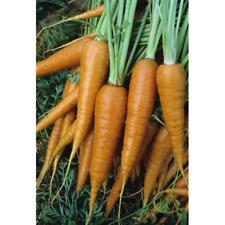 Carrot, Danver's Half Long, Vegetable Seed, Heirloom NON-GMO, USA