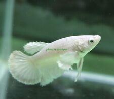 New listing Live Fish  betta White Dumbo  Halfmoon  female. Oc9. From Thailand.
