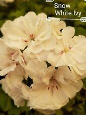 "GERANIUM PELARGONIUM  SNOW WHITE IVY PLANT $7      ""POSTAGE""ANY 3 PLANTS $8.00"