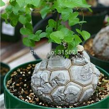 US FREE SHIPPING 5/Bag Dioscorea Elephantipes Seed Bonsai Table Succulent Plant