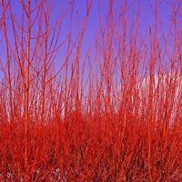 Common Dogwood. Cornus Sanguinea. Hungarian.15 seeds. Stunning Winter colour.