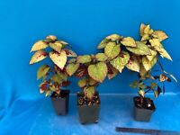 Coleus Hybrid Sunset And Red Tones Garden And Houseplant 2-3 Inch Divisions