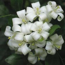 Murraya paniculata/boxwood china-lot of 10 seeds