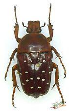 Stephanorrhina adelpha molleti SET x1 Female beetle A1- Uganda entomology insect
