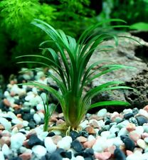 ophiopogon kyoto petite plante aquarium / terrarium coriace avant plan