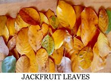 100X Dried Jack Leaves Jackfruit Leaf Bio film Shrimp Aquarium betta fish hide