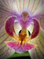 50pcs Moth Orchid (Phalaenopsis) Flower Seeds Plant Seed Bonsai Home Garden