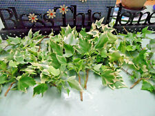 """10 English Ivy Evergreen Vine Cuttings Ground Cover Climber 10"""" each cutting"""