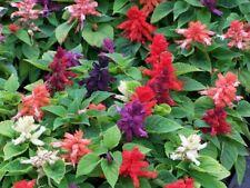 Salvia Serenity Mix Seeds Perennial Flowers Heat & Drought Tolerant