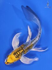 "New listing 4.5"" Doitsu Kujkau Butterfly Koi live fish nextdaykoi Ndk"