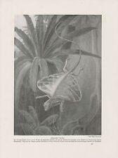 Flugdrache Draco volans DRUCK von 1912 Fliegender Drache Regenwald