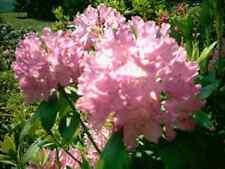 10 Rhododendron, rosa Blüte, Höhe: 50-60 cm ab Topf, Roseum Elegans, Hecken
