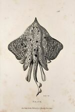Skate Flatfish Fish - c.1805 Antique Natural History Print by Shaw