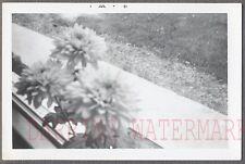 Unusual Vintage Photo Dahlia Flowers in Window 702509