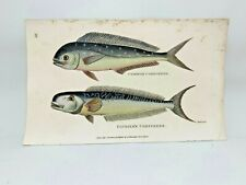 Original 1803 Shaw Hand Colored Copperplate Engraving Fish - Dolphin