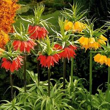 Fritillaria 'Crown Imperial' x 10 seeds