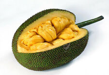 "Mondiale plus grand arbre fruit - ""miel"" Jackfruit frais 5 graines plus"