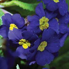 15+ Primrose /.Primula Flower Seeds / Cobalt Blue / Perennial