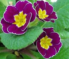 New listing Polyanthus Primrose Seeds : Primula elatior hyb.: Mixed Colours