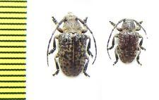 Cerambycidae sp., Erythyrea