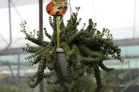Crassula Hottentot -Unusual Indoor Plant in a 12cm Hanging Pot