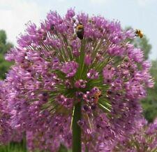 Rosenlauch winterharte schnellwüchsige exotische Pflanzen im Deko für den Garten