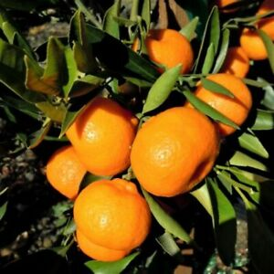 3 Pieces of Delicious Grafted Kishu Mandarin,Direct Grower