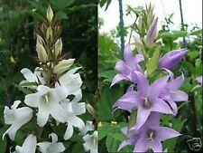 Giant Campanule Campanula latifolia bleu + blanc mix robuste espèces vivaces