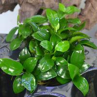 *BUY 2 GET 1 FREE* Anubias Nana Petite Anubias Plants Live Aquarium Plants ✅