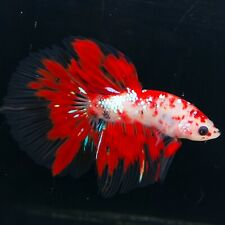 Live Betta Fish Red Koi HM Male from Indonesia Breeder