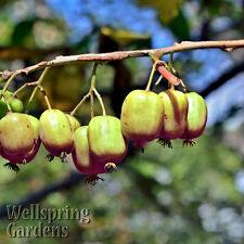HARDY KIWI FRUIT Plant Actinidia arguta 'Ananasnaja' Vine MALE Anna's Yang Tao